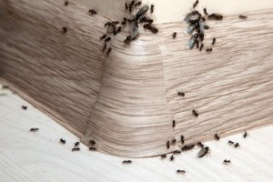 Ant Control, Pest Control in Mile End, Stepney, E1. Call Now 020 8166 9746