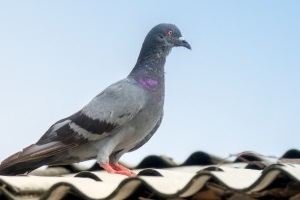 Pigeon Pest, Pest Control in Mile End, Stepney, E1. Call Now 020 8166 9746