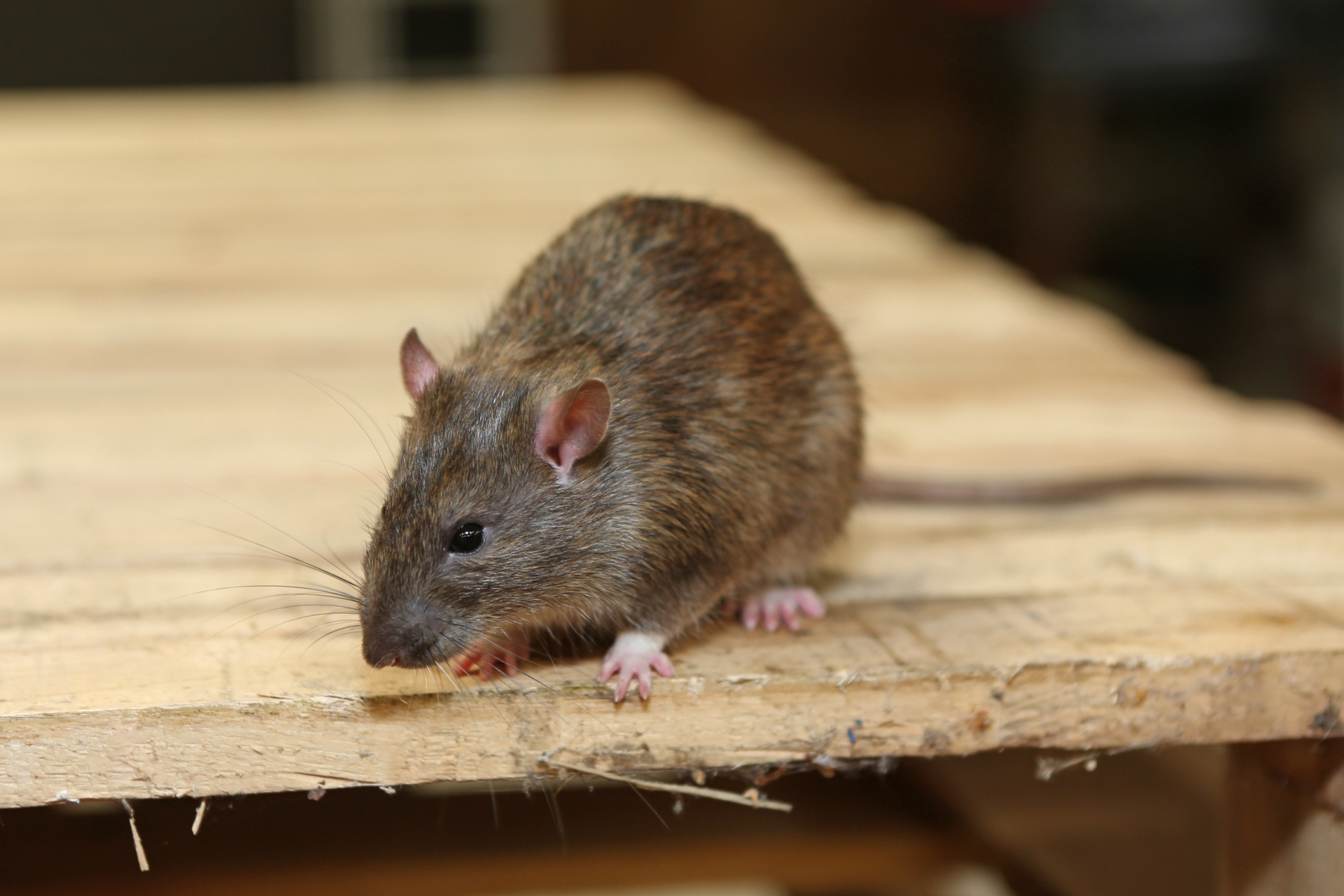 Rat Control, Pest Control in Mile End, Stepney, E1. Call Now 020 8166 9746