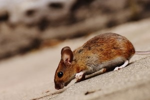 Mice Exterminator, Pest Control in Mile End, Stepney, E1. Call Now 020 8166 9746